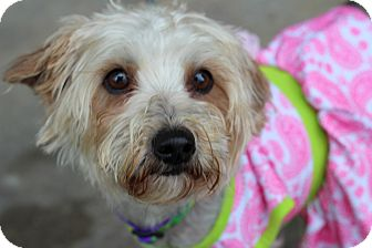 Yorkie, Yorkshire Terrier/Poodle (Miniature) Mix Dog for adoption in College Station, Texas - Patter (10 pounds)