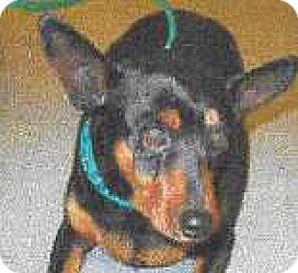 Miniature Pinscher Mix Dog for adoption in Spokane, Washington - Berttha