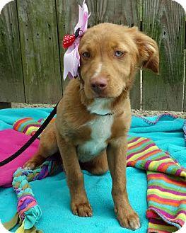 Labrador Retriever/Spaniel (Unknown Type) Mix Puppy for adoption in Darlington, South Carolina - Dalaney