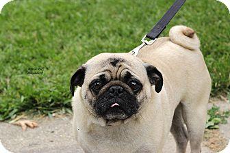 Pug Dog for adoption in Flushing, Michigan - Frank