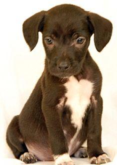 Labrador Retriever Mix Puppy for adoption in Newland, North Carolina - Damara