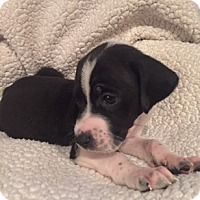 Adopt A Pet :: Kringle - Lewisville, IN