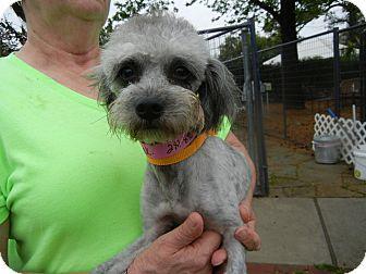 Poodle (Miniature) Mix Dog for adoption in Houston, Texas - Tink