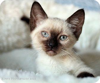 Siamese Kitten for adoption in Rocklin, California - Whistler