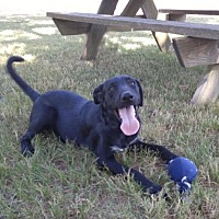 Labrador Retriever/Hound (Unknown Type) Mix Dog for adoption in Jefferson, Texas - Raisin