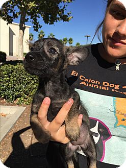 Yorkie, Yorkshire Terrier Mix Puppy for adoption in Santee, California - Two girls