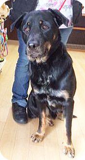 Rottweiler Mix Dog for adoption in Spokane, Washington - Shaggy