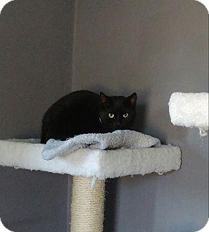 Domestic Shorthair Kitten for adoption in Colmar, Pennsylvania - Juliet