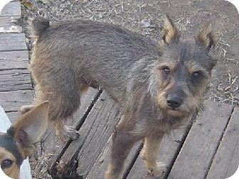 Standard Schnauzer Dog for adoption in Cushing, Oklahoma - GEORGE-adopted
