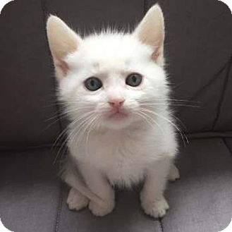Turkish Angora Kitten for adoption in Davis, California - Chip