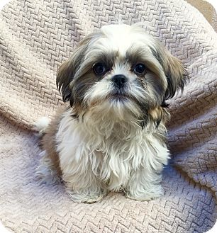 Shih Tzu Puppy for adoption in Los Angeles, California - Soci