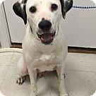 Adopt A Pet :: Dalmatian mix girl
