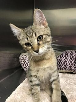 Domestic Shorthair Kitten for adoption in Ocala, Florida - KINKO