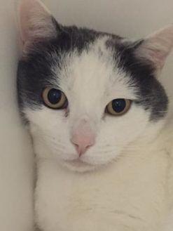 Domestic Shorthair/Domestic Shorthair Mix Cat for adoption in Frazier Park, California - Bob