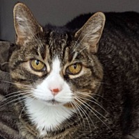 Adopt A Pet :: Abby Rose - Orillia, ON