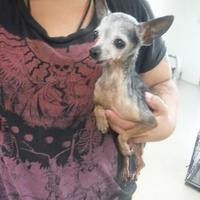 Chihuahua Mix Dog for adoption in justin, Texas - Bea