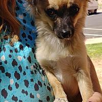 Adopt A Pet :: Shyanna - Ogden, UT