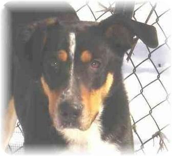 Australian Shepherd/Collie Mix Dog for adoption in Wyoming, Minnesota - Ambrose-- Beauty