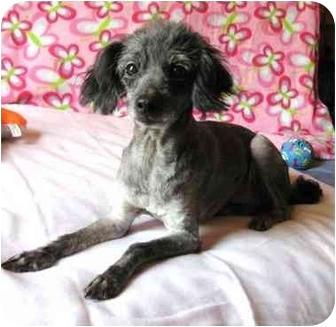 Poodle (Standard) Dog for adoption in Marion, North Carolina - Missi
