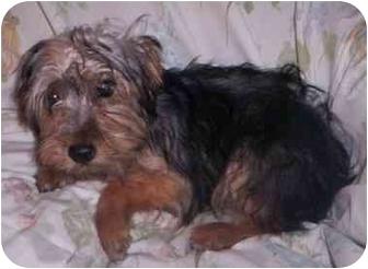 Silky Terrier Dog for adoption in Kansas City, Missouri - Jamie