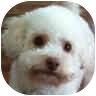 Bichon Frise Mix Dog for adoption in La Costa, California - Teddy (Jaden)