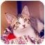 Photo 2 - Domestic Shorthair Kitten for adoption in San Diego, California - Slinky