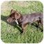Photo 4 - Labrador Retriever Mix Puppy for adoption in Mahwah, New Jersey - Annie