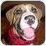 Photo 2 - American Bulldog Mix Puppy for adoption in Riverview, Florida - Jax