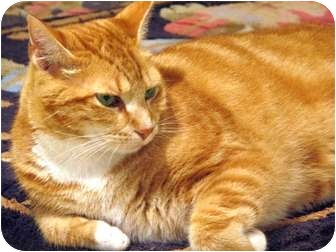 Domestic Shorthair Cat for adoption in Columbia, Maryland - Sizzle