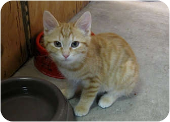Domestic Shorthair Kitten for adoption in Bonners Ferry, Idaho - Sing-Song