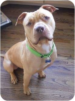 Shar Pei/American Pit Bull Terrier Mix Dog for adoption in Snohomish, Washington - Van