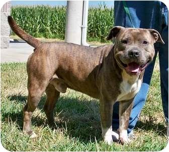 American Staffordshire Terrier Dog for adoption in Owensboro, Kentucky - Hogan