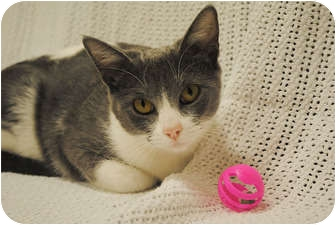 Domestic Shorthair Cat for adoption in Houston, Texas - Lynn