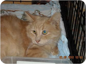 Domestic Longhair Cat for adoption in Riverside, Rhode Island - Colin