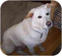 German Shepherd Dog/Labrador Retriever Mix Dog for adoption in Warren, New Jersey - Bell the Lab