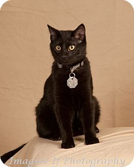 Domestic Shorthair Cat for adoption in Edmond, Oklahoma - Julius
