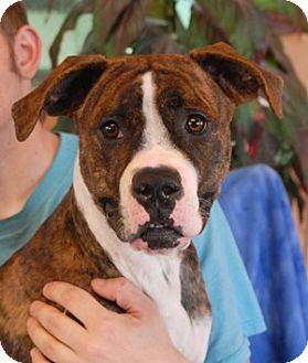 Boxer Mix Puppy for adoption in Las Vegas, Nevada - Precious