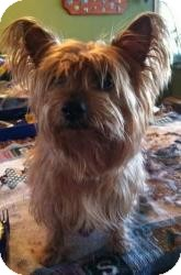 Yorkie, Yorkshire Terrier Mix Dog for adoption in Cleveland, Ohio - Bitsy