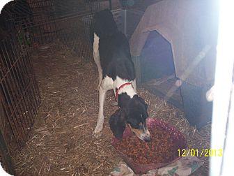 Bluetick Coonhound Dog for adoption in Wedowee, Alabama - Tater