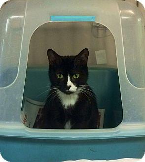 Domestic Shorthair Cat for adoption in New York, New York - White Socks
