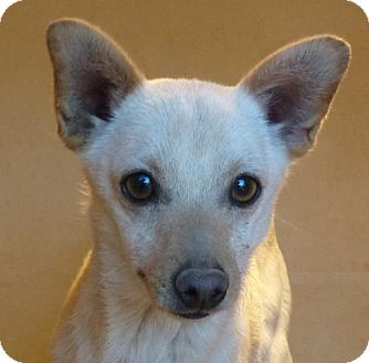 Chihuahua Mix Dog for adoption in Las Cruces, New Mexico - Wiley