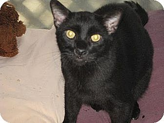 Domestic Shorthair Cat for adoption in Sherman Oaks, California - Lewis