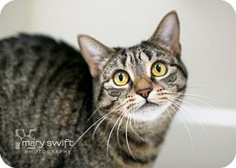 Domestic Shorthair Cat for adoption in Reisterstown, Maryland - Ruby