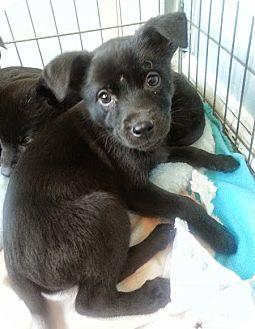 Labrador Retriever/Corgi Mix Puppy for adoption in Chicago, Illinois - Noelle*ADOPTED!*