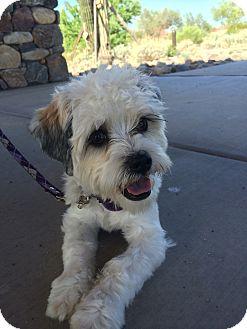 Bichon Frise/Shih Tzu Mix Dog for adoption in Novato, California - Coco