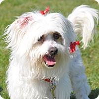 Adopt A Pet :: Liv - Tumwater, WA