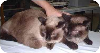 Siamese Cat for adoption in Cocoa, Florida - Cassidy