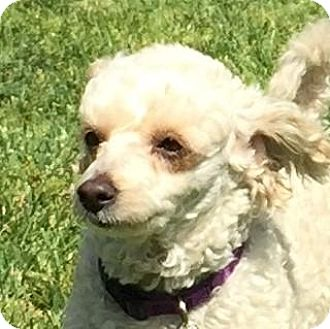 Bichon Frise Mix Dog for adoption in Fountain Valley, California - Regan