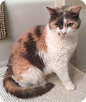 Calico Cat for adoption in Merrifield, Virginia - Gilda