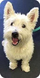 Westie, West Highland White Terrier Dog for adoption in Oak Park, Illinois - Wesley
